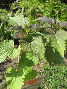 agastache feuilles