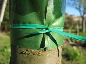 bande de glue anti-pucerons sur un cerisier