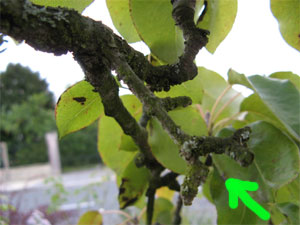 Préparer la taille d'un arbre fruitier