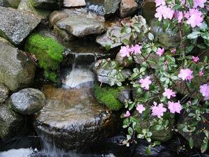 Camélia en fleurs près d'une cascade