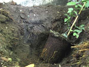 Plantation d'une clématite