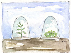 semis sous cloche
