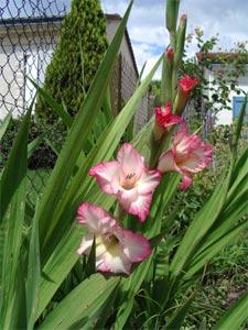Glaieul : un bulbe à fleurs pour les bouquets d'été