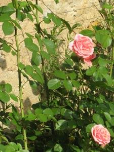 rosier accroché par les épines