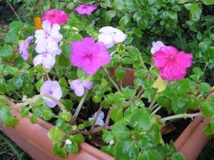 Impatiens en jardinière