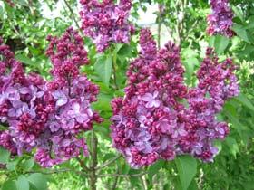 Lilas arbustes floraison tout - Quand tailler les lilas ...