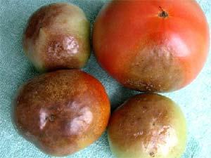 mildiou de la tomate - D..R