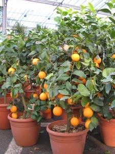 culture du citronnier en pot 28 images fleuriste isabelle feuvrier le citronnier citrus. Black Bedroom Furniture Sets. Home Design Ideas
