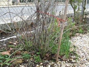 Rabattre les arbustes d'ornement - le perowskia