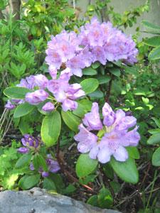 Jardinage en août: rosiers, arbres, arbustes et pelouse