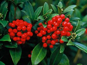 skimmia - un arbuste décoratif au coeur de l'hiver