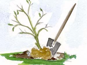 Transplanter un arbuste