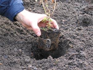 La plantation des plantes vivaces