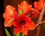 Amaryllis variés
