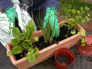 Mise en place des aromatiques dans la jardinière