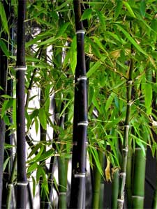 La plantation du bambou for Plante bambou exterieur