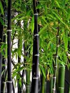 La plantation du bambou
