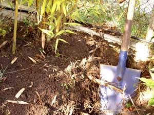 Un rhizome de bambou se propage sous terre