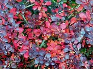 Berberis - feuillage d'automne