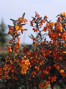 Berberis en fleurs
