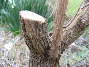 Rajeunissement de branche sur un arbre aux papillons