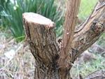 La taille du buddleia (arbre aux papillons)
