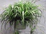 chlorophytum D.R.