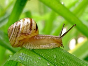 Escargot sur une herbe