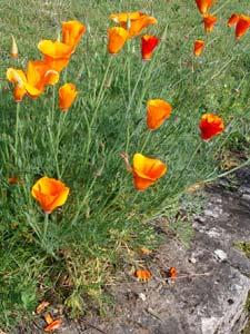 Pavots de Californie (Eschscholtzia)
