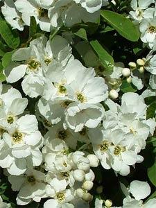 Exochorda en fleurs