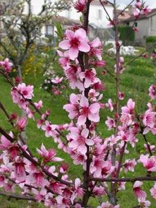 Arbres fruitiers : traitements et conseils pour le printemps