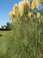 Herbe de la Pampa (cortaderia)