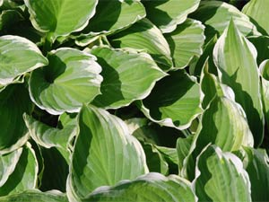 hosta le plus commun