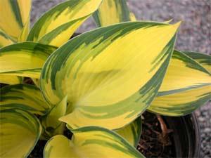 La sublime lumière apportée par les feuilles de l'hosta 'remember-me'