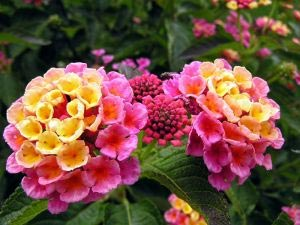 Jardinage en juillet: rosiers, arbres, arbustes et pelouse