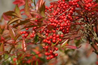 Nandina domestica - fruits