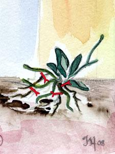 habillage des racines de l'orchidée