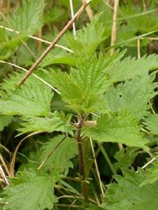 Ortie - urtica dioica - urticacées