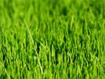 Gazon levé sur la pelouse