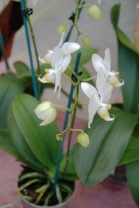 Orchidées faciles à vivre : conseils de culture