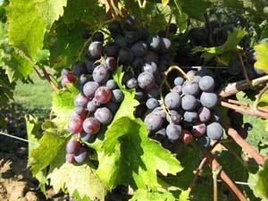 Le vin issu de raisin biologique : meilleur de goût, meilleur pour l'homme ?