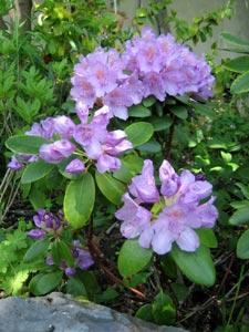 A faire en octobre Rhododendron-mauve