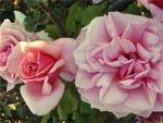 Rose Aloha - D.R.