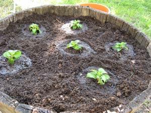 Plantation de sunpatiens dans une vasque