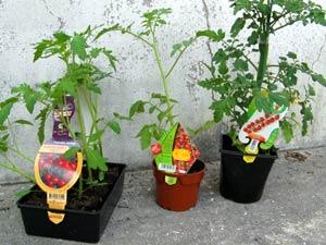 plants de tomate en godet, barquette et greffée