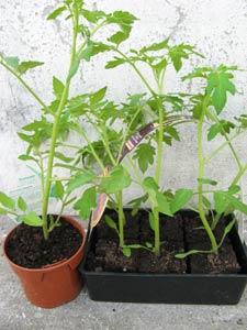 plant de tomate en godet et en barquette