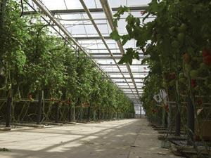 la tomate est un l gume originaire de quel pays. Black Bedroom Furniture Sets. Home Design Ideas