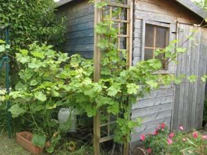 planter un pied de vigne beautiful vigne contre un mur with planter un pied de vigne vigne. Black Bedroom Furniture Sets. Home Design Ideas