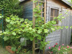La taille en vert de la vigne : tailler en vert
