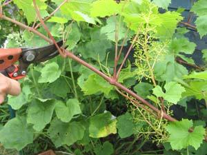 La taille en vert de la vigne tailler en vert - Entretien de la vigne ...